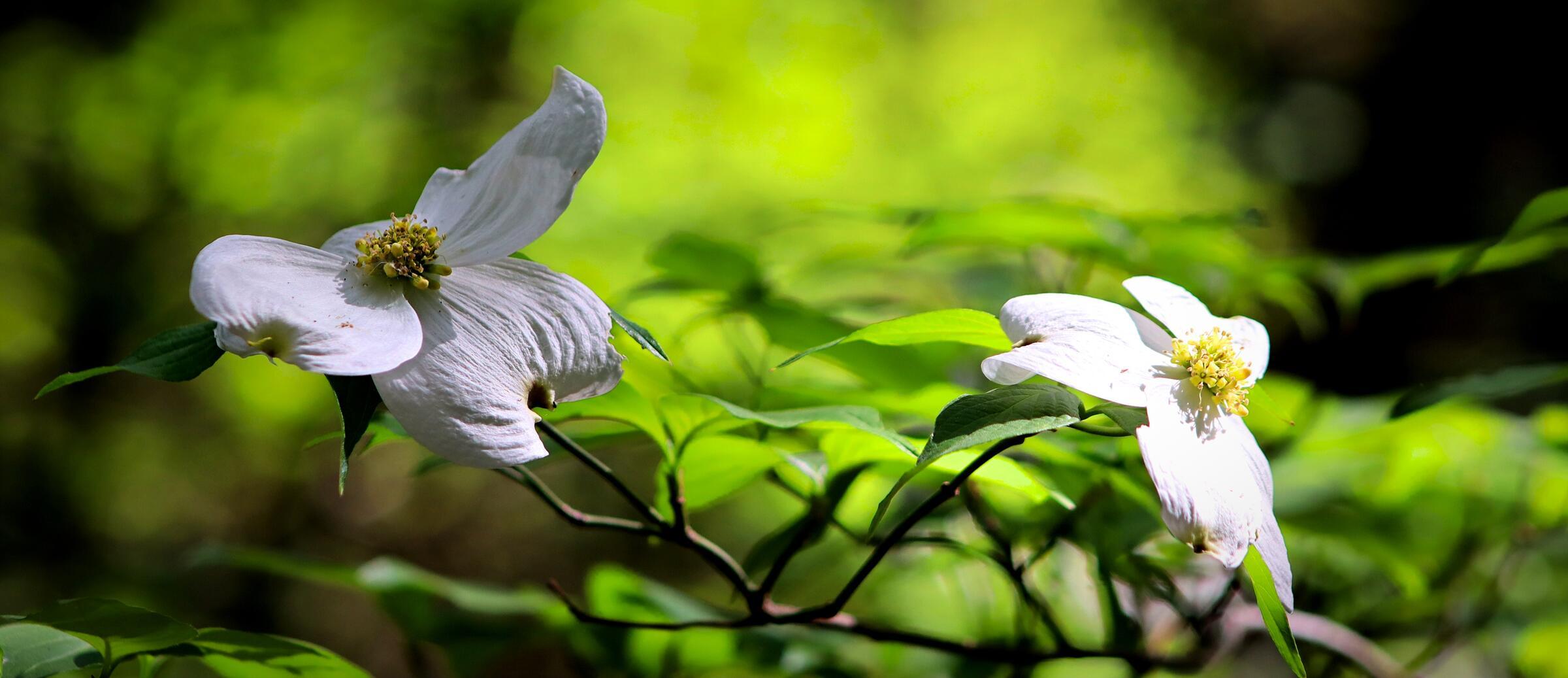 Photo of blooms from the Flowering Dogwood tree (Cornus florida)